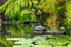 Prendre un bain de soleil de tortue Photo stock