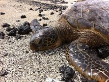 Prendre un bain de soleil de tortue de mer verte Image stock
