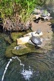 Prendre un bain de soleil des tortues Image libre de droits
