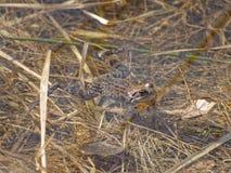 Prendre un bain de soleil de grenouille Images stock