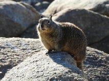 Prendre un bain de soleil l'écureuil moulu de la Californie Images stock