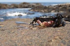 Prendre un bain de soleil le crabe Image libre de droits