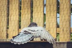 Prendre un bain de soleil le pigeon d'emballage Photos stock