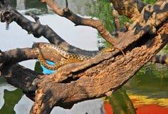 Prendre un bain de soleil le serpent Photo libre de droits
