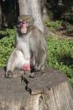 Prendre un bain de soleil de singe de Makak images libres de droits