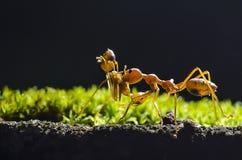 Prenez-moi la maison, la fourmi portent la fourmi sur le fond noir Image libre de droits