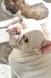 Prenez un bain de soleil le bouledogue français ou le chien sur le plancher Photographie stock