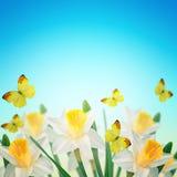 Prentbriefkaar met verse bloemengele narcissen en lege plaats voor uw Royalty-vrije Stock Afbeeldingen