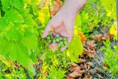 Preoccuparsi senior caucasico della mano dell'uva immagine stock