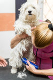 Preparação de Terrier branco de montanhas ocidentais do cão Imagens de Stock Royalty Free