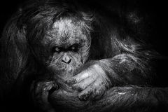 Preparação do orangotango Imagem de Stock Royalty Free