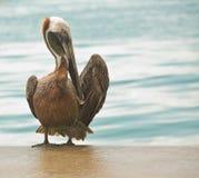Preparação do pelicano Fotos de Stock Royalty Free