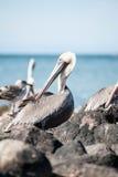 Preparação do pelicano Foto de Stock Royalty Free