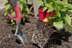 Preparação plantar plantas da pimenta no jardim Imagem de Stock Royalty Free
