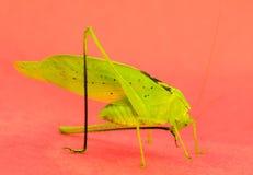 Preparação verde de Katydid Fotos de Stock Royalty Free