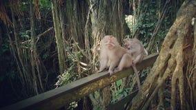 Preparación atada larga de los monos del macqaque imagen de archivo