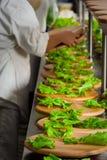 Preparación de la ensalada para el alimento del abastecimiento Imagen de archivo libre de regalías