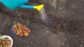 Preparación de las camas del jardín para plantar bulbos del gladiolo almacen de video