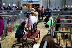 Preparación de las ovejas Imagen de archivo libre de regalías