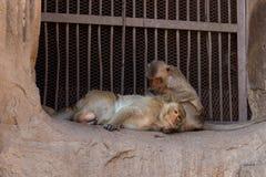 Preparación de los monos Fotografía de archivo libre de regalías