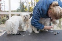 Preparación de un par de perros blancos que se colocan en la tabla de la preparación Fotos de archivo libres de regalías