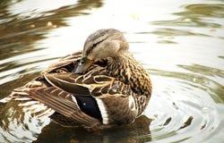 Preparación del pato silvestre  Imagenes de archivo