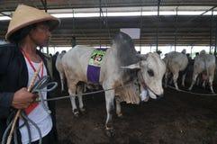 Preparación para Eid al-Adha en Indonesia Fotos de archivo libres de regalías