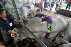 Preparación para Eid al-Adha en Indonesia Imágenes de archivo libres de regalías