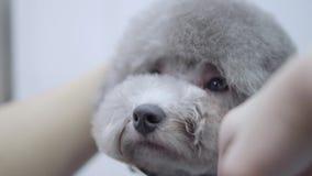 Preparaci?n de un peque?o perro en un sal?n del animal dom?stico Caniche hermoso Perro adorable en animal dom?stico del peluquero almacen de video