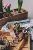 preparaciones de la primavera en casa Establecimiento de bulbos de flores del jacinto Afición que cultiva un huerto Fotos de archivo libres de regalías