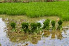 Preparando germoglio per la piantatura (Oryza sativa) Fotografia Stock Libera da Diritti