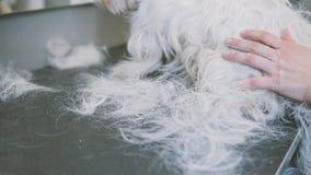 Preparando la montaña Terrier blanco del oeste Perros blancos de la preparación Desplume de una capa vieja en perros Foco bajo Imagen de archivo