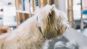 Preparando la montaña Terrier blanco del oeste Perros blancos de la preparación Desplume de una capa vieja en perros Foco bajo Fotos de archivo