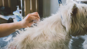 Preparando la montaña Terrier blanco del oeste Perros blancos de la preparación Desplume de una capa vieja en perros Foco bajo Imágenes de archivo libres de regalías