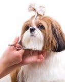 Preparando o cão de Shih Tzu Fotos de Stock