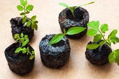 Preparando per la coltivazione delle piante nel giardino Germoglio verde La sorgente è venuto Focolaio Prodotto naturale hydropon Immagini Stock