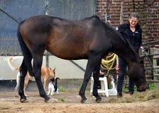 Preparando seu cavalo Imagem de Stock Royalty Free