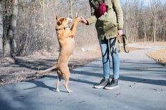 Preparando un cane adulto per camminare su due gambe e per fare gli alti cinque fotografia stock