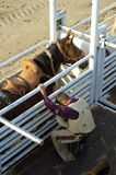 Preparation. A cowboy prepares for a saddle bronc ride Royalty Free Stock Photography