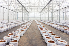 Preparation Coco Peat In Greenhouse Royalty Free Stock Images