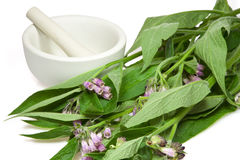 Preparation of comfrey Stock Photography