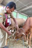 Preparation for Eid al-Adha in Indonesia. Health officials inspect the condition of sacrificial animals during Eid al-Adha preparations in Surakarta, Indonesia Stock Photo