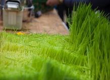 The preparation of fresh juice from a green grass royalty free stock images