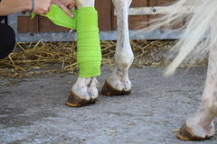 Preparation and placement of a green bandage on the anterior leg of a white horse Royalty Free Stock Photos