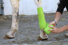 Preparation and placement of a green bandage on the posterior leg of a white horse Royalty Free Stock Photography