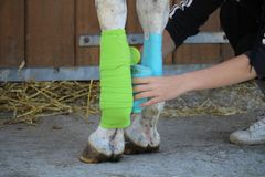 Preparation and placement of two bandages of green and blue colors on the anterior legs of the white horse Stock Photo