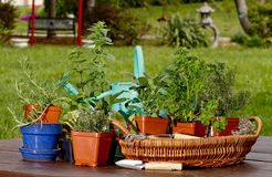 Preparation planting Herbs Royalty Free Stock Images