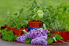 Preparation planting Herbs Royalty Free Stock Photo