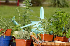 Preparation planting Herbs Royalty Free Stock Photography