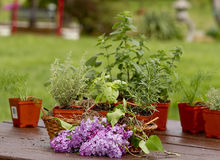 Preparation planting Herbs Stock Photography